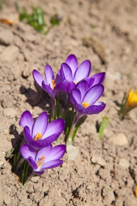 First spring flowers: violet crocuses growing after melting the snow