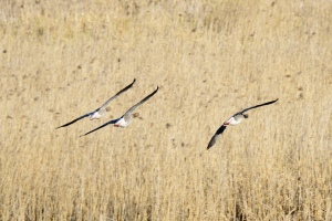Three Greylag Geese coming in for landing over a field in formation