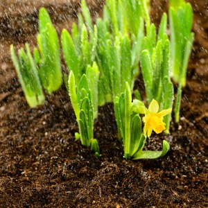 Seedling of narcissus spring flowers growing from ground