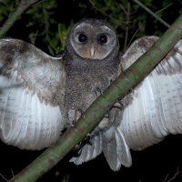greater_sooty_owl_richard_jackson-6_thumb